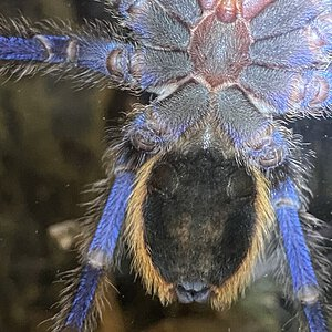 Chromatopelma cyaneopubescens Male or Female