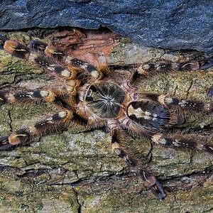 "Poecilotheria subfusca ""Lowland"""