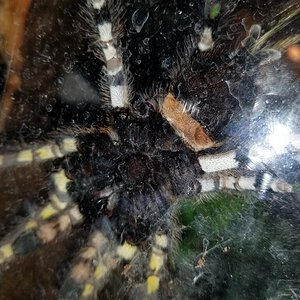 P regalis 6 inch, male or female?