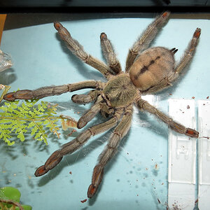 "The Adventures of Squirt (♀ Psalmopoeus cambridgei 6"")"