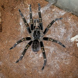 G. pulchripes Final Form...