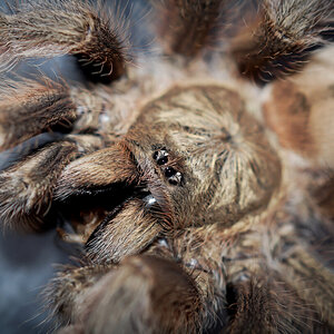 Psalmopoeus pulcher Adult Female - ≈ 5""