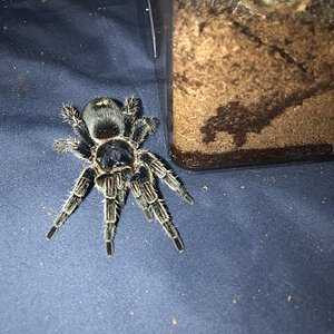 Unknown Thrixopelma