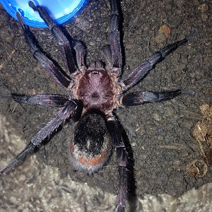 Bumba cabocla Mature Male (Synonymized as B. horrida now)