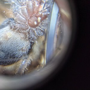 "1.5"" Homoeomma chilensis"