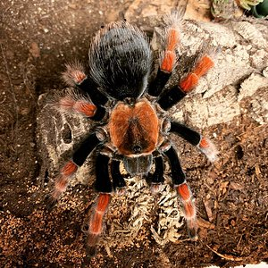 Mature female Brachypelma boehmei