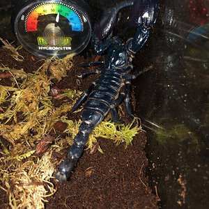 Athena the Asian forest scorpion