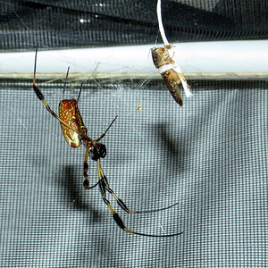 Spider Fishing (♀ Trichonephila clavipes)