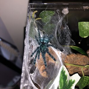 Croops the Caribena versicolor (0.0.1)
