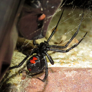 Southern Black Widow (♀ Latrodectus mactans)