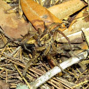 Mating Wolf Spiders (Hogna lenta) [1/5]