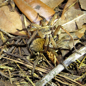 Mating Wolf Spiders (Hogna lenta) [2/5]
