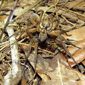 Mating Wolf Spiders (Hogna lenta) [3/5]