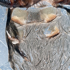 Theraphosa apophysis molt, male or female?