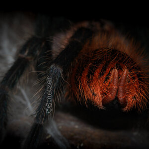 Groops the Chromatopelma cyaneopubescens