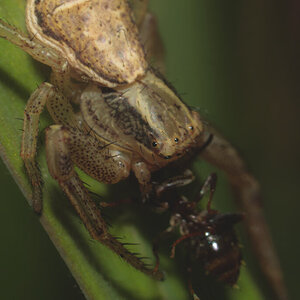 Unknown Spider eating an ant #3