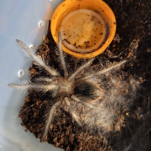 20210426_104847.jpg freshly molted lp sling