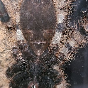 poecilotheria rufilata. About 3 inches