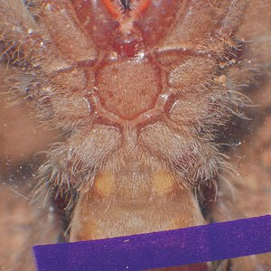 H gigas ventral sexing