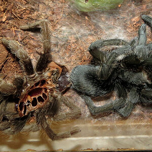 "Freshly Molted Flash (♀ Grammostola pulchra 4"") [1/2]"