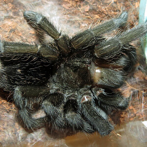 "Freshly Molted Flash (♀ Grammostola pulchra 4"") [2/2]"