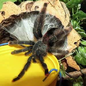 "Finally! (♀ Avicularia avicularia 5"")"