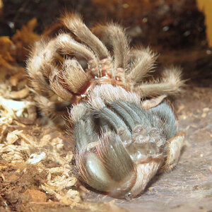 "Molting Aphonopelma chalcodes (♀ 2"")"