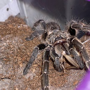 Hungry female C. darlingi.