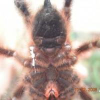 A.versicolor 3.25in new photos