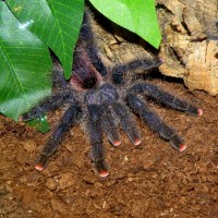 Avicularia spec. Amazon purple