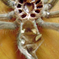 Theraphosa Bloni juvie