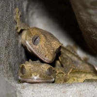 Crested Baby Geckos