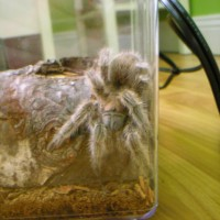 Rose Hair Tarantula (Name: Kikkoman)