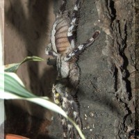 Poecilotheria regalis adult female