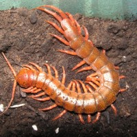 Scolopendra Subspinipes ''Red Dragon Morph''