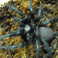 Spanish Funnel Web