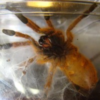 Another P. Murinus