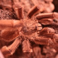 MM P. cambridgei????