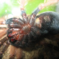 Freshly molted b. boehmei