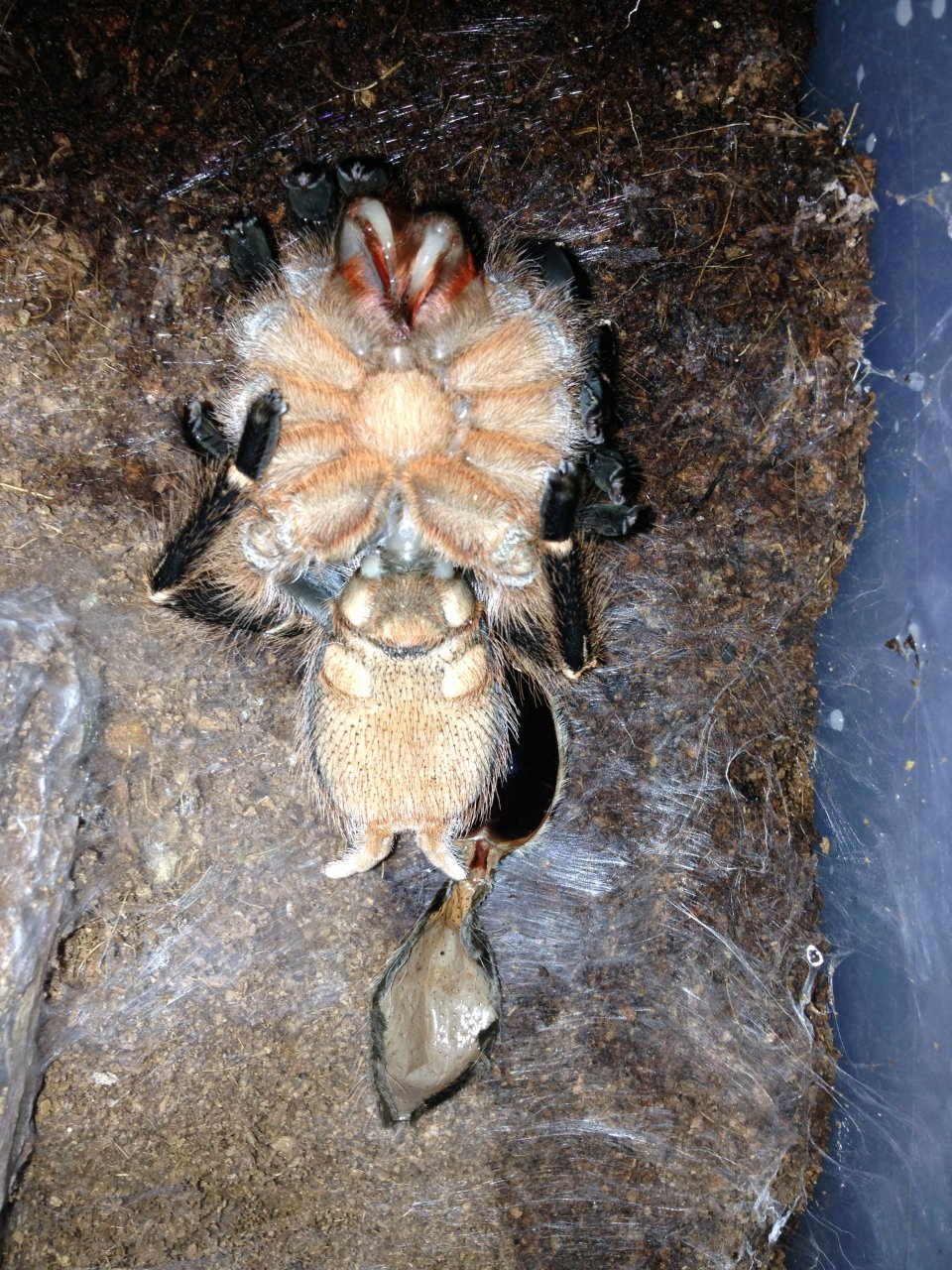 0.1 A. seemanni freshly molted