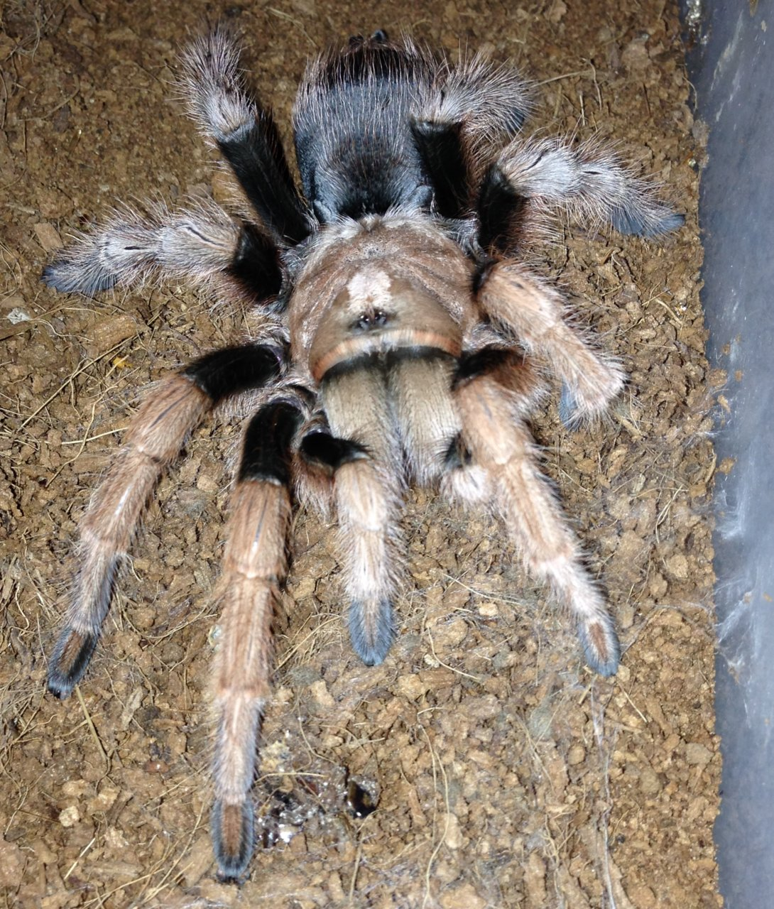 0.1 Freshly Molted A. chalcodes 1/2