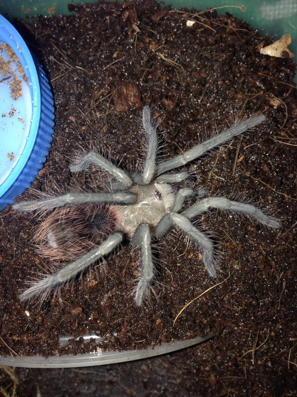 1.0 X. immanis freshly Molted 3''