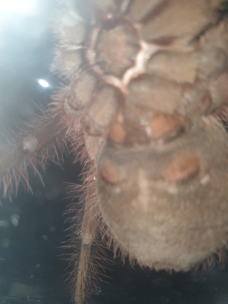 10cm Theraphosa blondi [ventral sexing] [1/2]