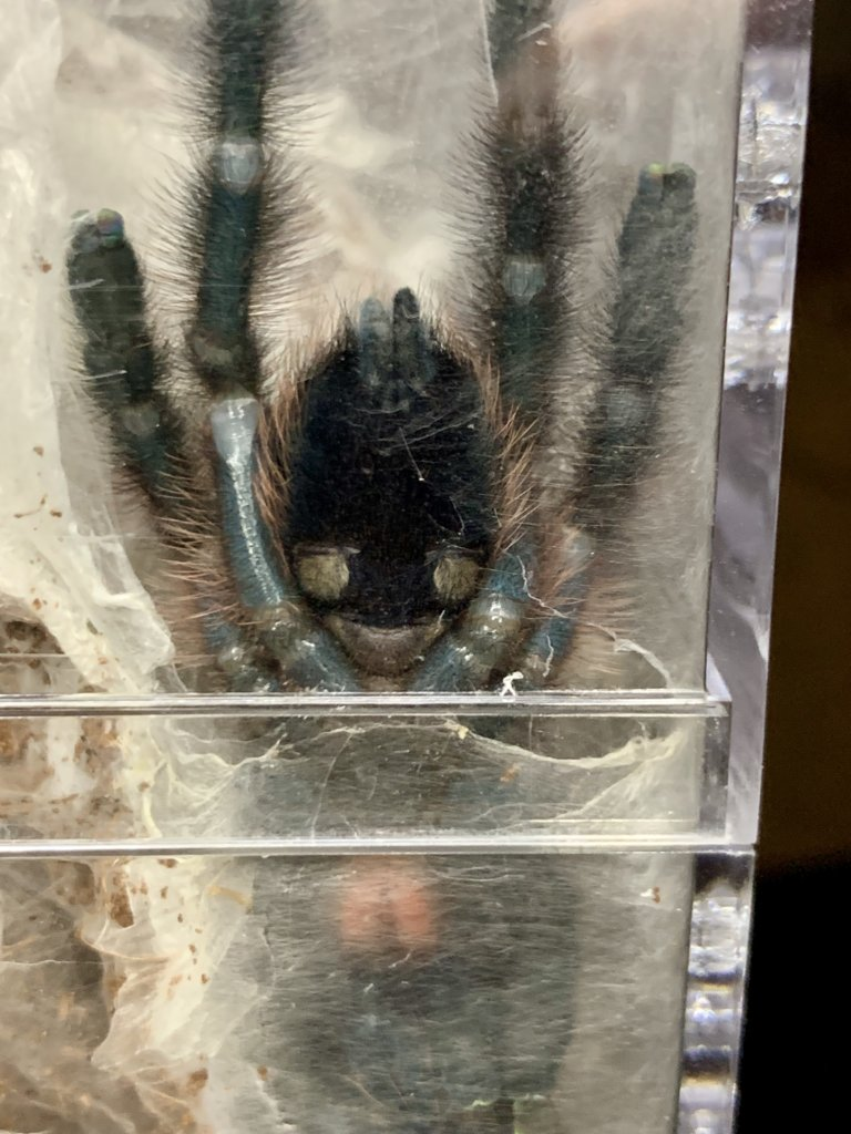 "~3"" C. versicolor, freshly molted"