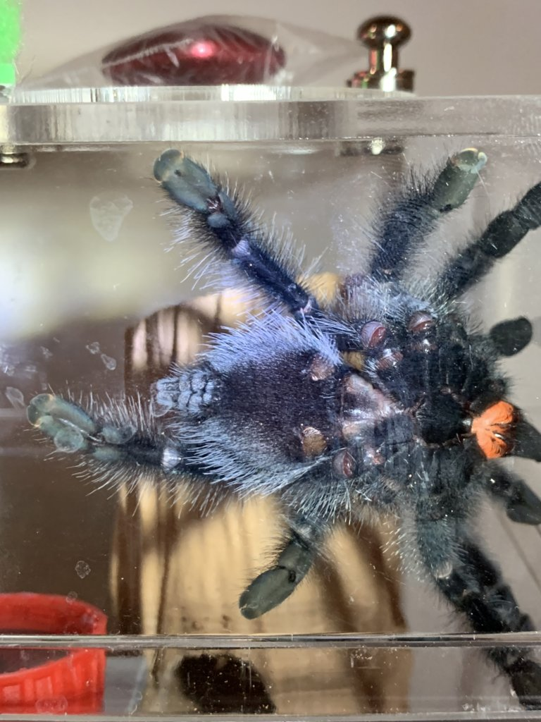 A. avicularia I'm thinking male
