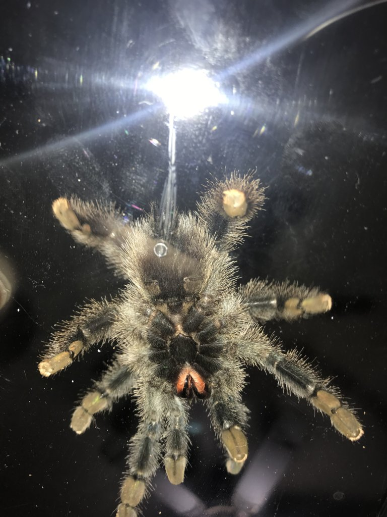 A. Avicularia. Want a girl but I don't think it is. [2/3]