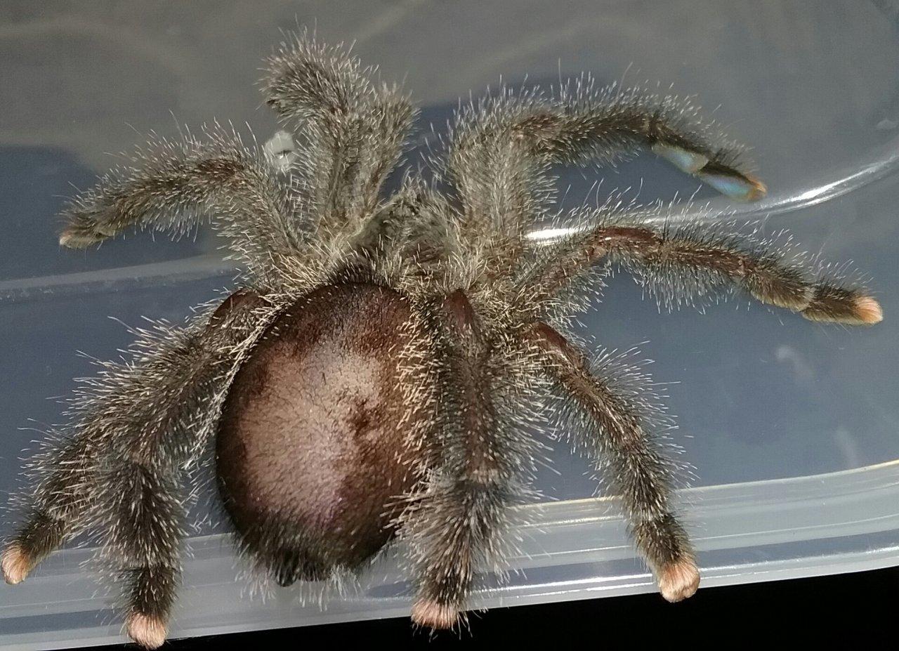 Balding Abdomen Not Molting Arachnoboards