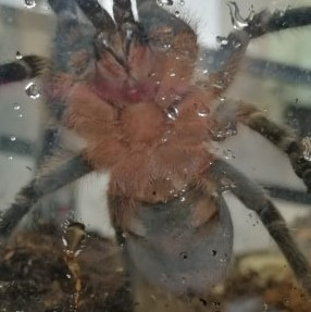 A.Seemanni - Ventral Sexing please? Any clues?
