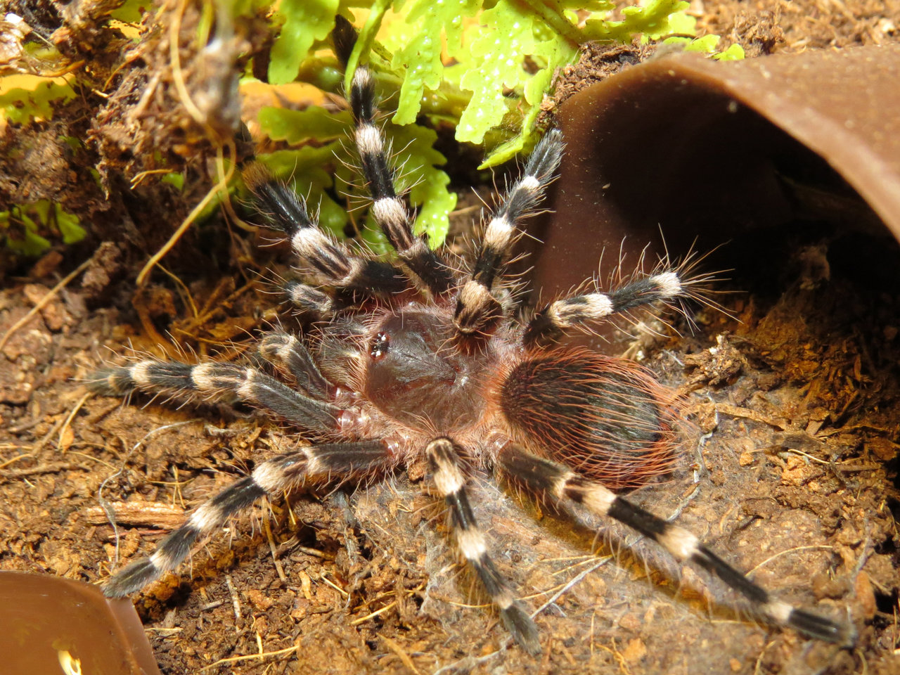 "Acanthoscurria geniculata: Prelude to Adult Coloring (♂ 2""+)"