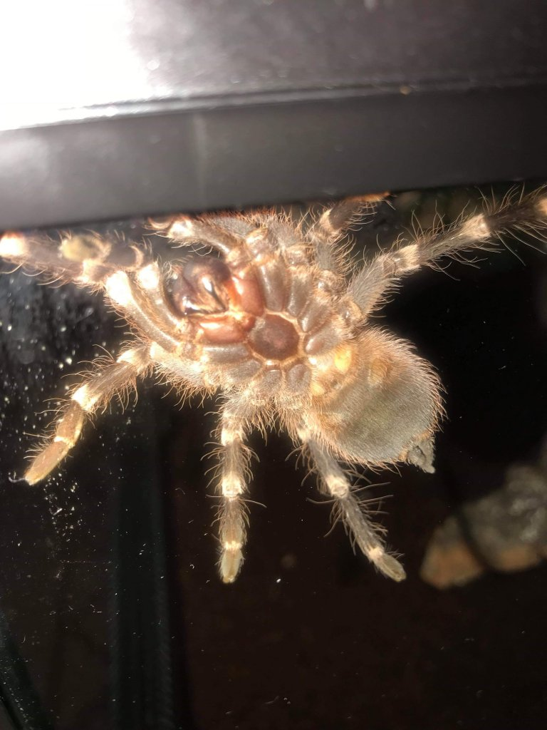 Acanthoscurria geniculata [ventral sexing]